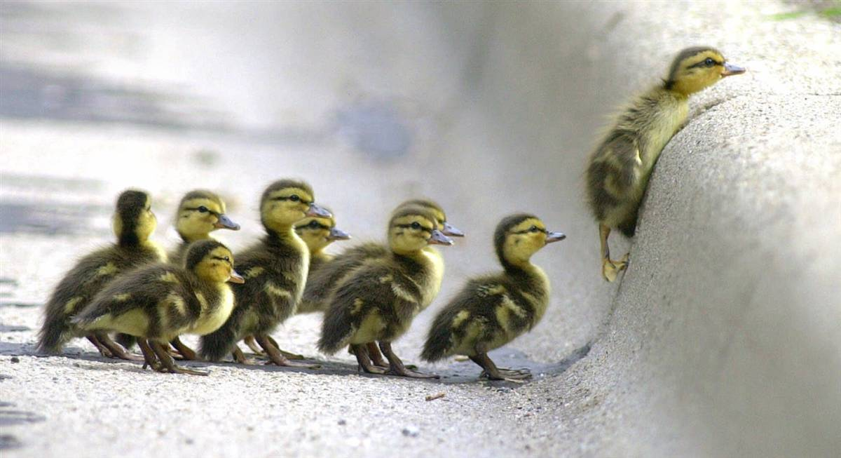 ducklings-at-curb